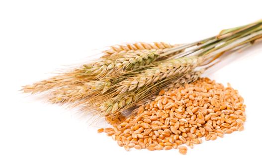 Giá lúa mì Nga sẽ giảm hơn nữa