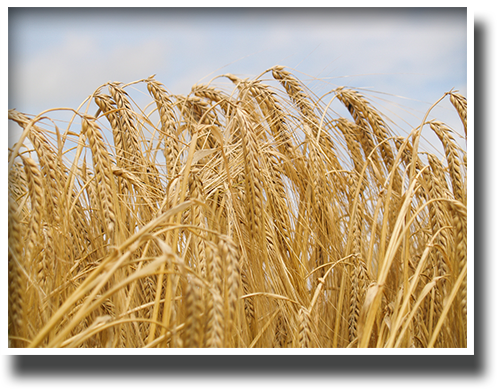 Our Heritage - Wheat